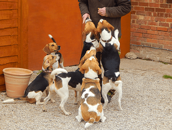 Beagles ready for rehoming