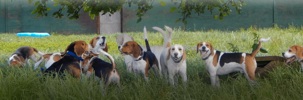 misc beagle